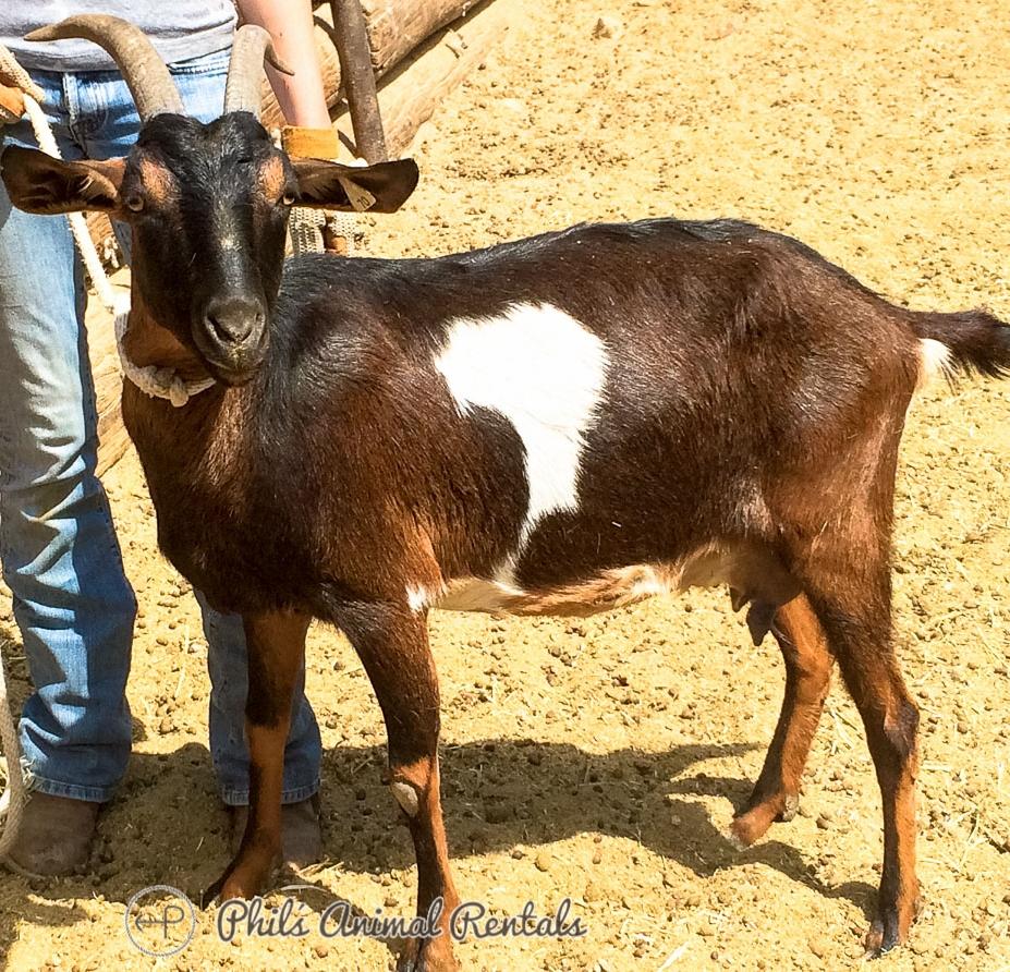 GoatNewPIcs010997.JPG