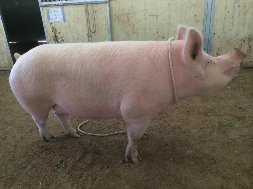 XLarge Pig