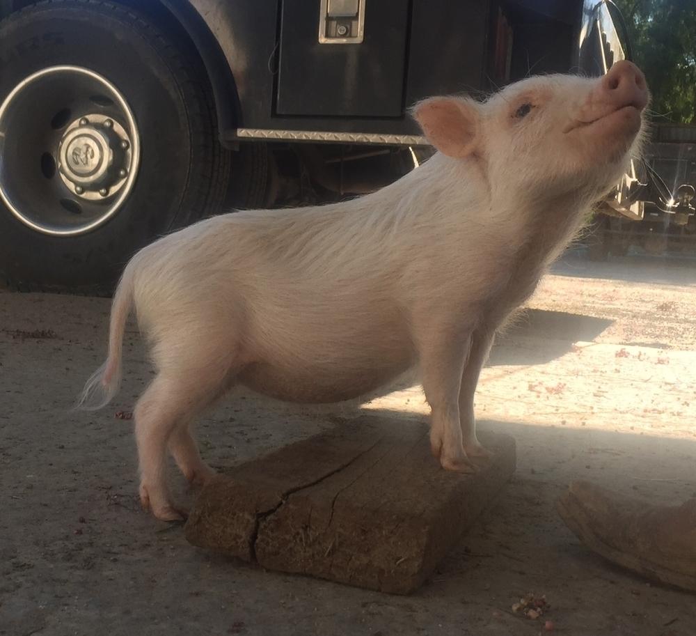 Micro Teacup Pig
