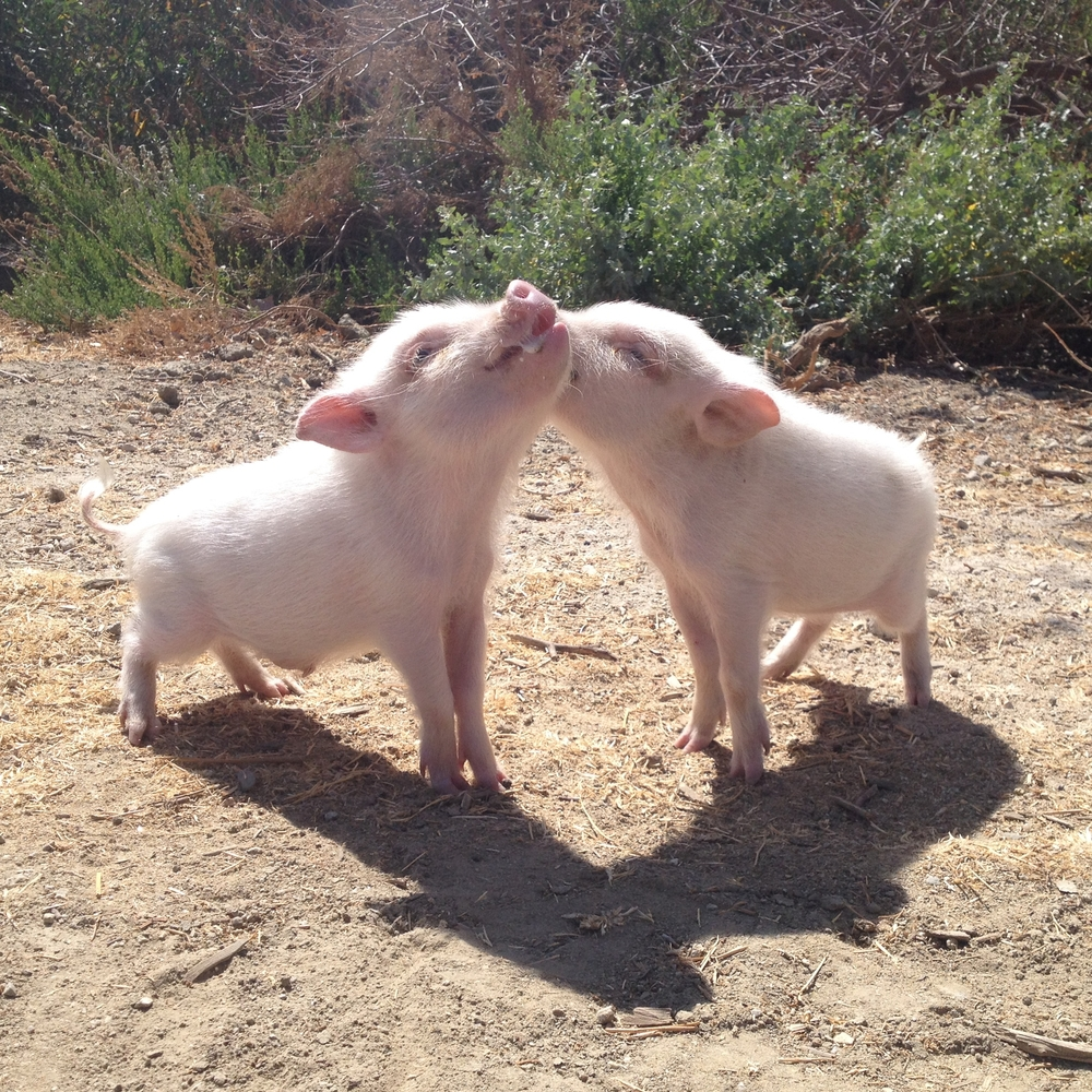 Micro Teacup Pigs