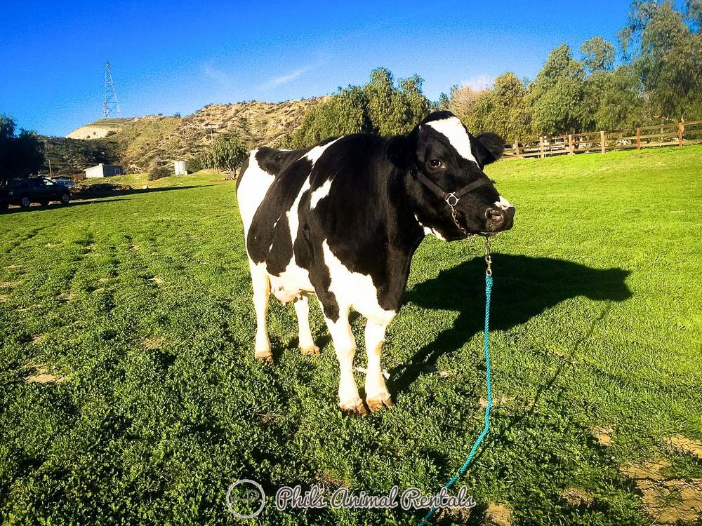 cowsandbulls_(1_of_12).JPG