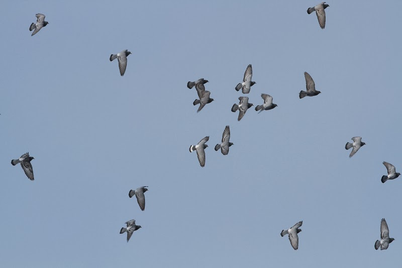 flyingpigeons.jpg