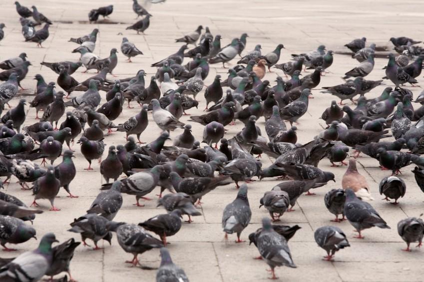 pigeonflock.jpg