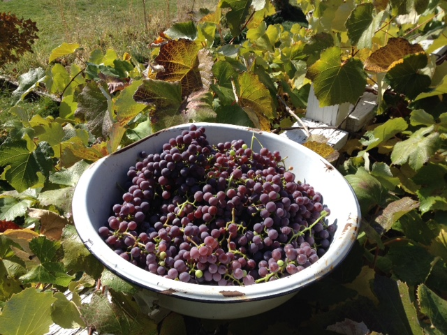 This is the first year the purple concord grapes were able to fully ripen on the south side of the house.
