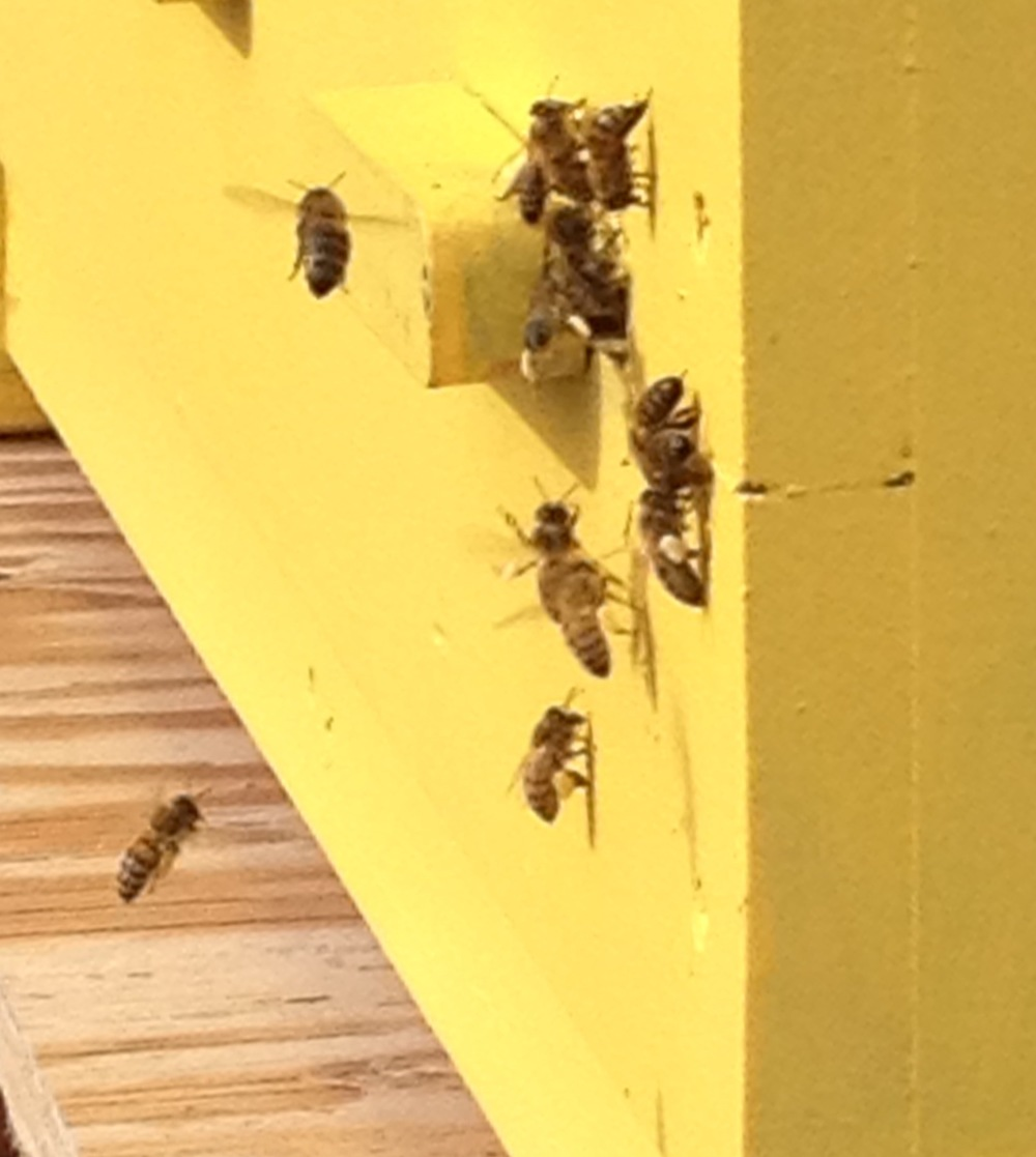 Notice the full pollen baskets on the girl near the bottom of the landing board. Also, look at the color variation of the pollen on the girl higher on the board. Pollen comes in many color shades. Variation in color means there are foraging options for the girls.