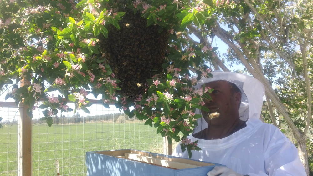 Our first swarm catch on our property. Beeatrice and crew landed in our vegetable garden.