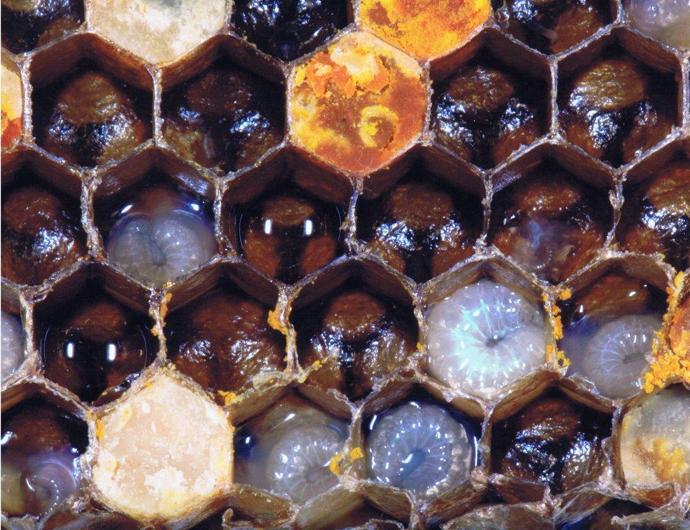 PL Bee Brood.jpg