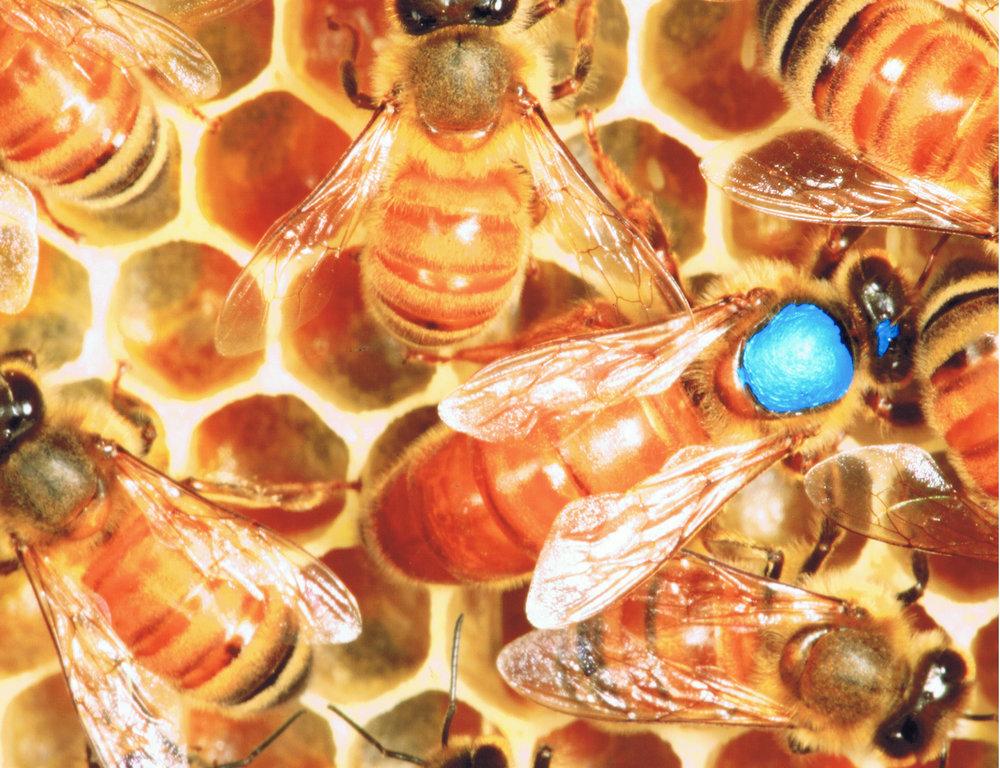 PL Queen Bee.jpg
