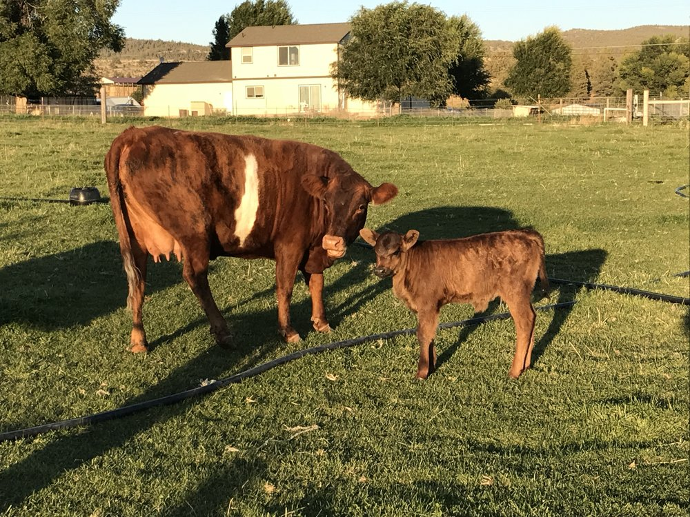 Luna and her baby heifer Hermione.