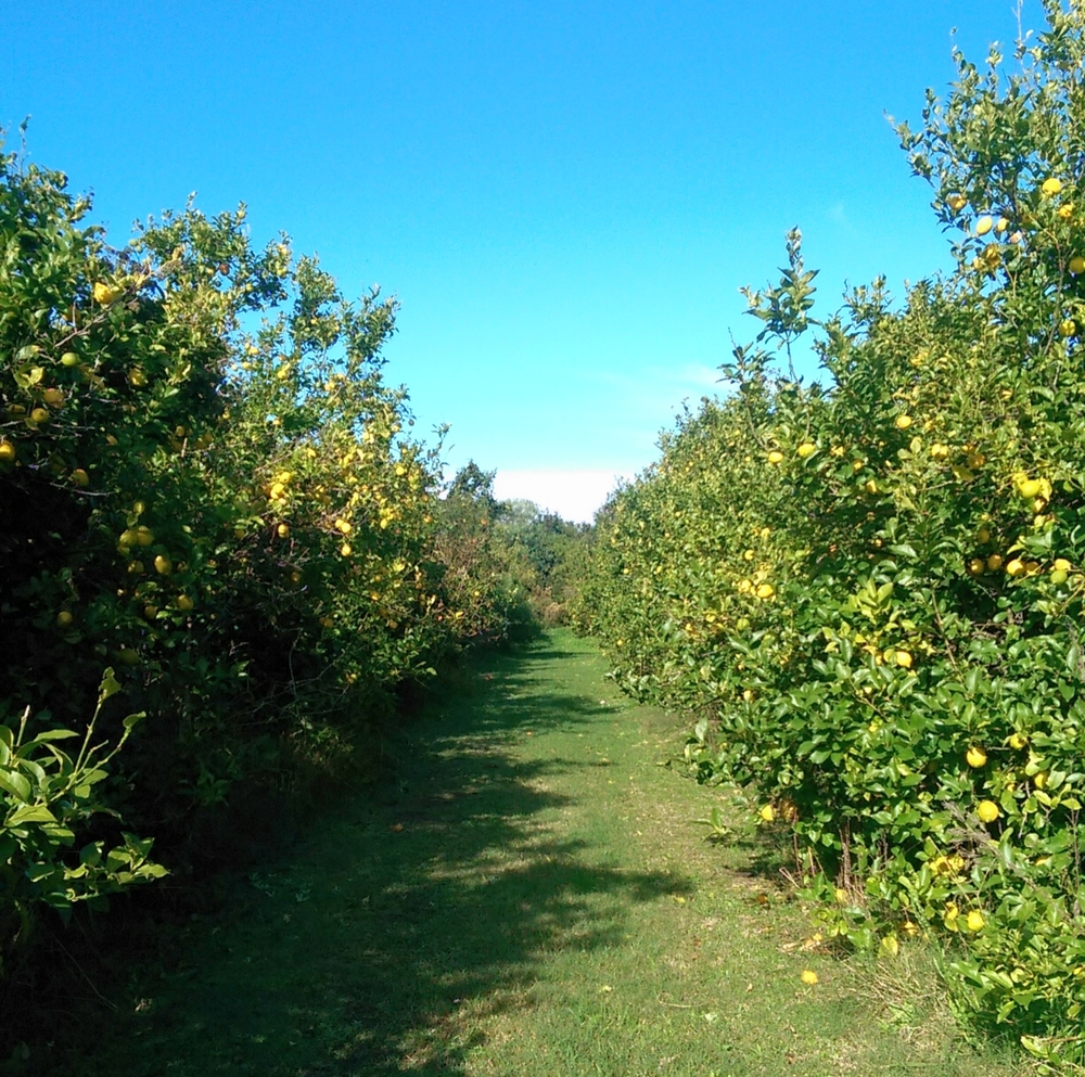Behold: a lane of lemon trees at La Casa de los Limoneros.