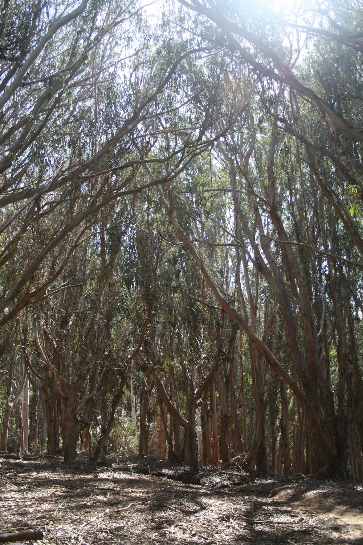 eucalyptusforesttrail