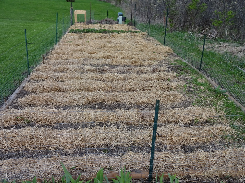 The vegetable garden is planted. The straw separates the rows, minimizes the weed growth and helps keeps some moisture for the plants.