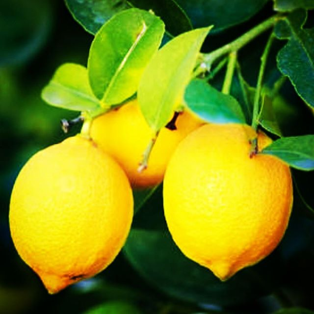 Lemons, lemons, calling for lemons! If anybody has an abundant lemon tree we would love to hear from you. Happy to purchase or swap for homemade goodies! Please call or email us: ph: 0438663077  email: feedme@goldilockslunchbox.com.au