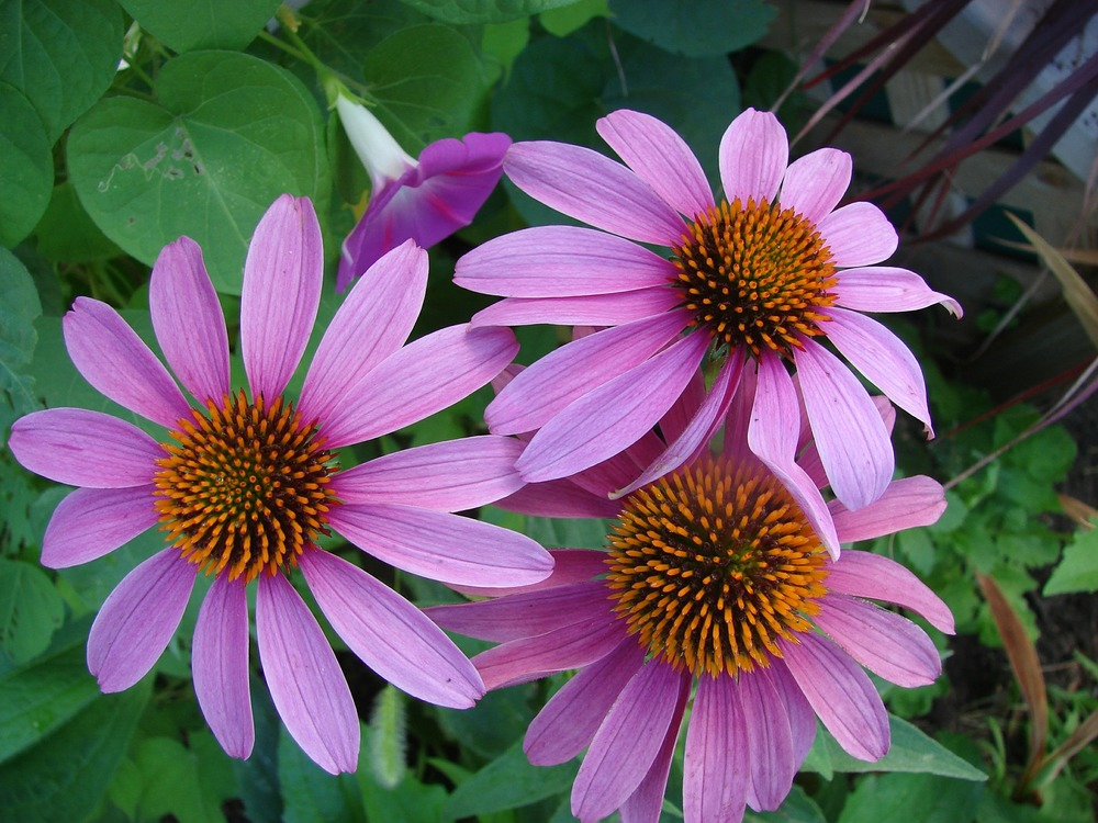 echinacea-557477_1920.jpg