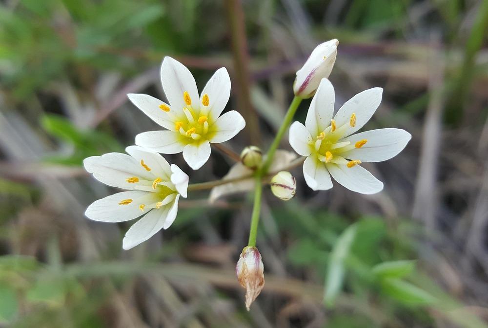 false-garlic-1163261_1920.jpg