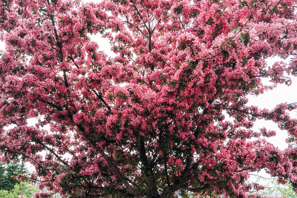 pink tree landscaping.jpg