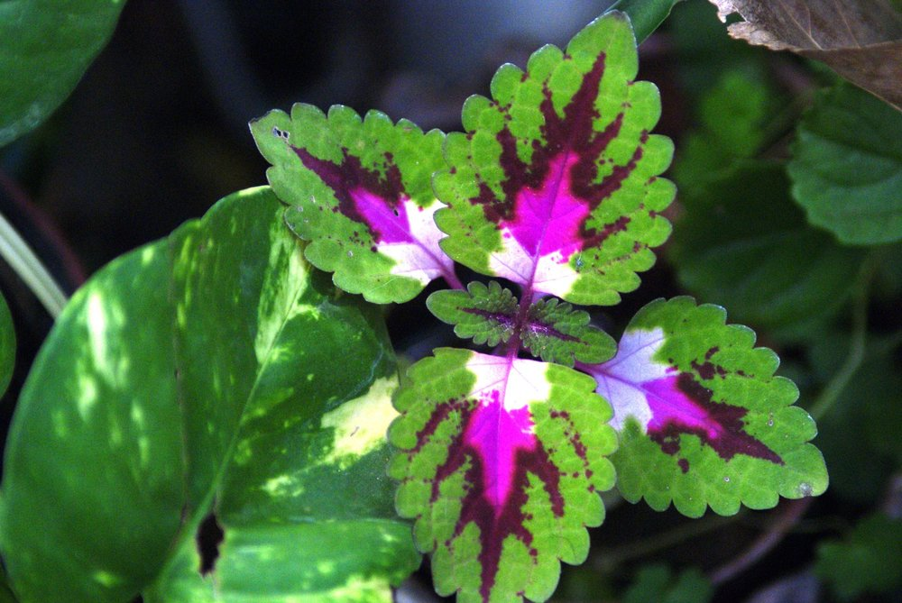 coleus colorful foilage.jpg