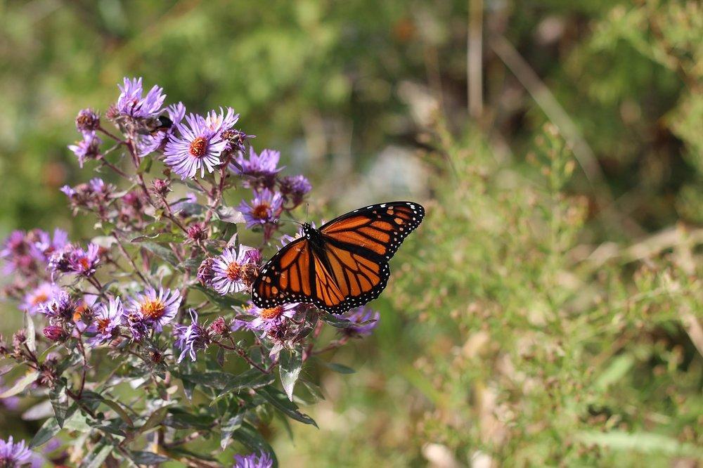 monarch-1983317_1280.jpg