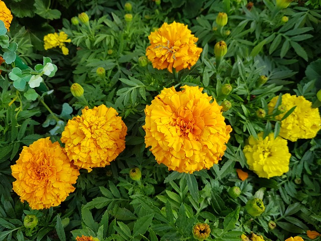 marigold-3458867_640.jpg