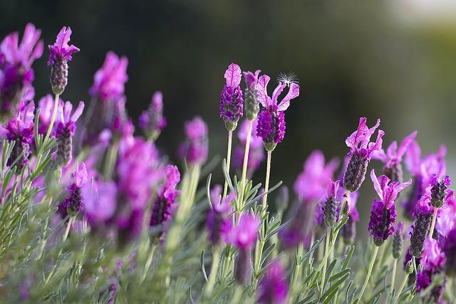 lavendar-1153408_640.jpg