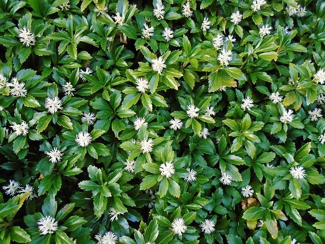 pachysandras-ground-cover-plants.jpg