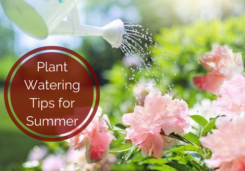 Plant Watering Tips fo Summer.png