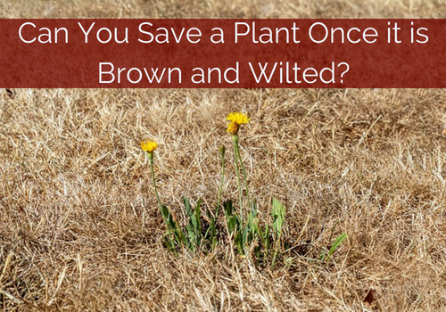 Can You Save a Plant Once it is Brown and Wilted_.png
