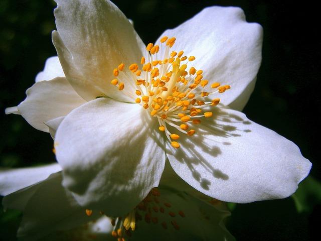 summer-jasmine-356222_640.jpg