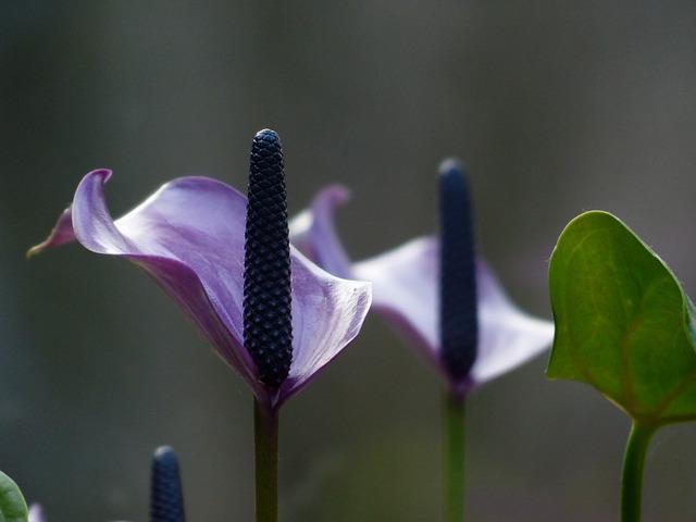 spathiphyllum-100789_640.jpg