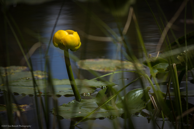 A water lily on Nymph Lake.