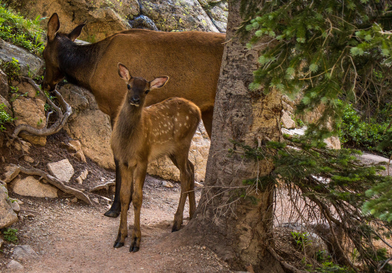 An Elk Fawn wonders what I am.