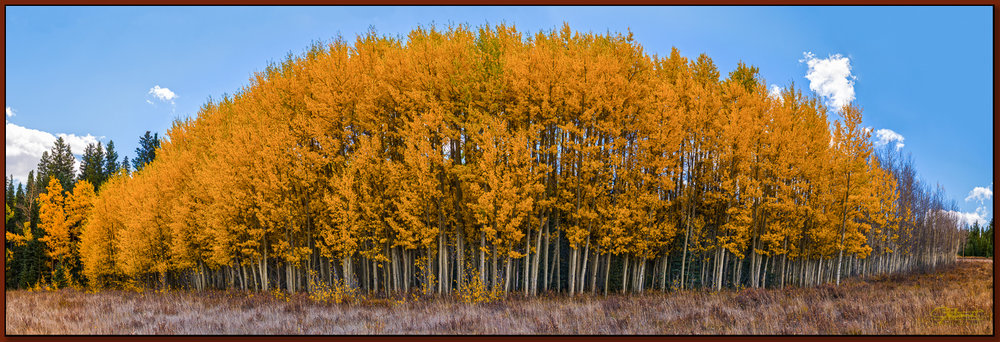 """""""Aspen's Last Stand"""" ©2016 Jon S. Berndt   This stand of aspens was beautiful to see in its symmetry. The prevailing wind seemed like it must have been from the right in this photograph, as the aspens on the right have begun to be stripped of their leaves. To see a larger version and for purchase options,  click here ."""