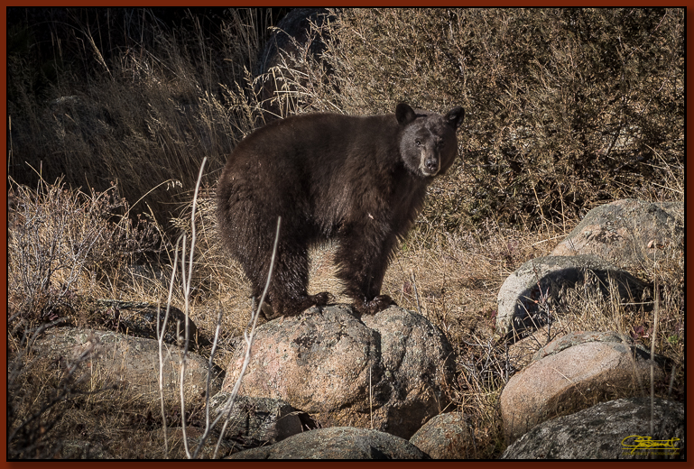 Rocky Mountain Black Bear