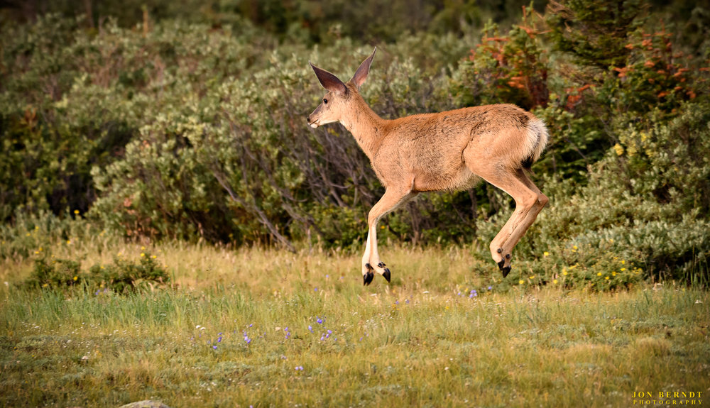 """Boing! Boing! Boing! This deer had been running and then broke into a pogo-like hopping action (""""stotting"""").(C) 2017 Jon Berndt Photography"""