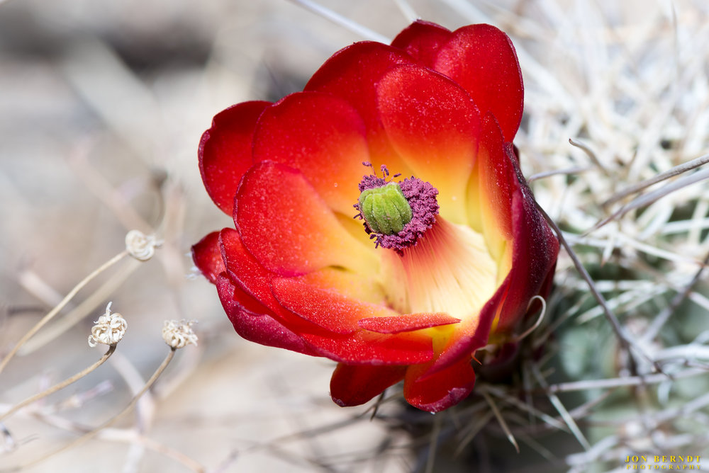 Mojave Mound Cactus bloom.
