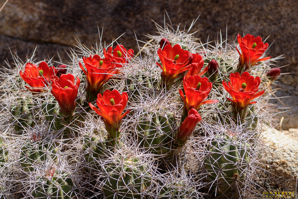 Mojave Mound Cactus blooms.