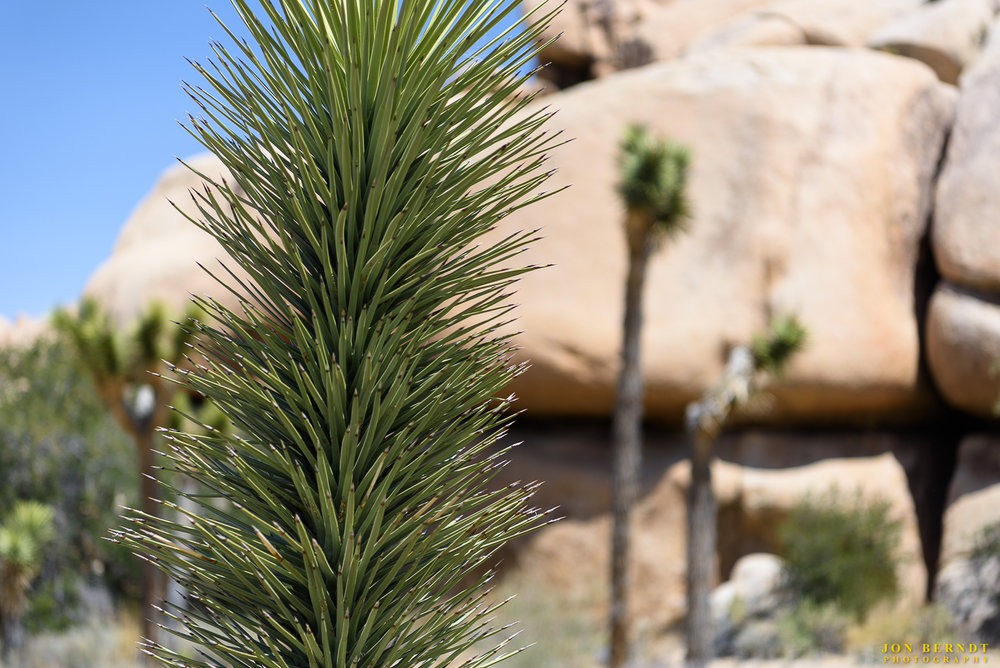 "From the national park web site:   Years ago the Joshua tree was recognized by American Indians for its useful properties: tough leaves were worked into baskets and sandals, and flower buds and raw or roasted seeds made a healthy addition to the diet. The local Cahuilla have long referred to the tree as ""hunuvat chiy'a"" or ""humwichawa;"" both names are used by a few elders fluent in the language."