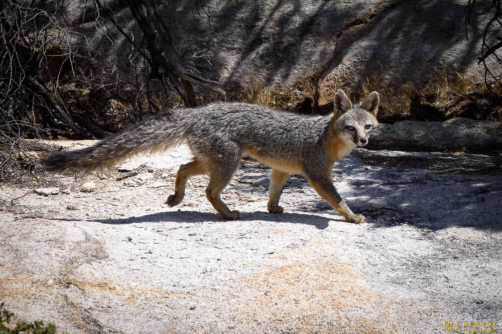 Joshua Tree N.P. is home to two fox species, the gray fox and the  kit fox . This is a gray fox. It was an unexpected treat to find this fox. I was walking along the nature trail and climbed up over a couple of large rocks to get a better view of some blooms that were off to the side of the trail and found this fox scampering out of view of people on the trail.