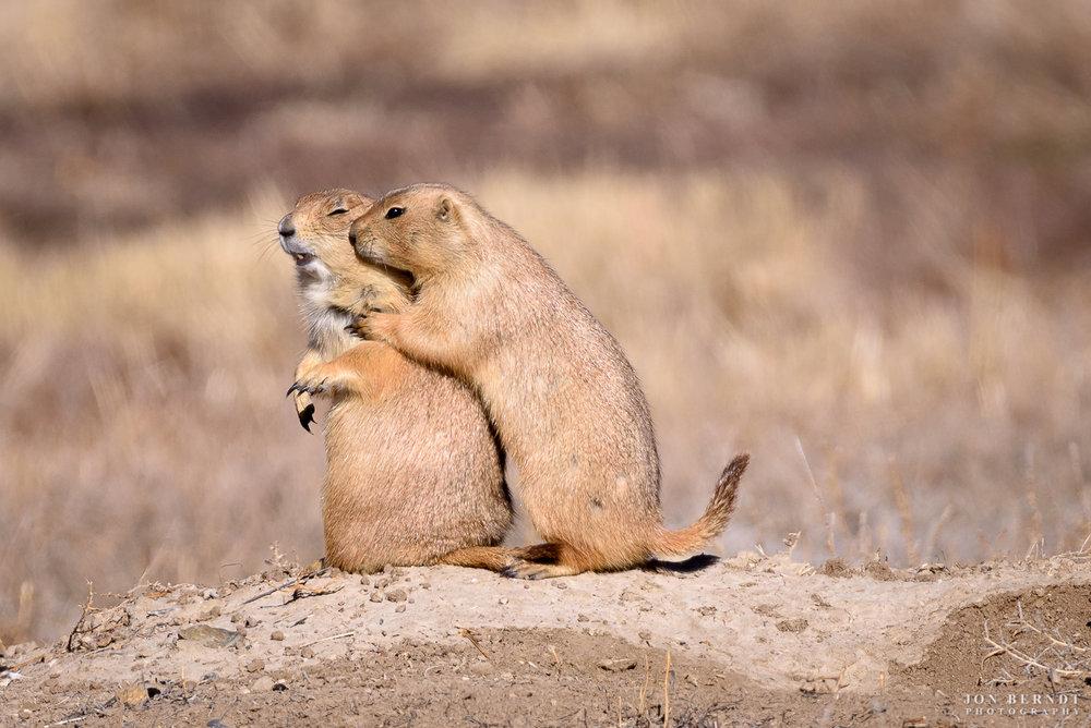 Prairie Dog Snuggles