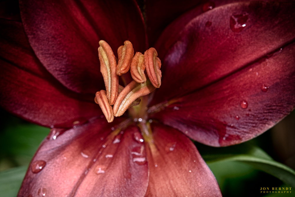 Brown Lily