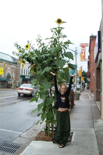 Adrianne demonstrating the prodigious growth of our crop of sunflowers planted in the sidewalk in front of the store - back in 2003!