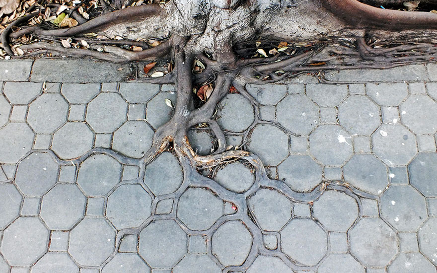 tree-roots-concrete-pavement-2.jpg