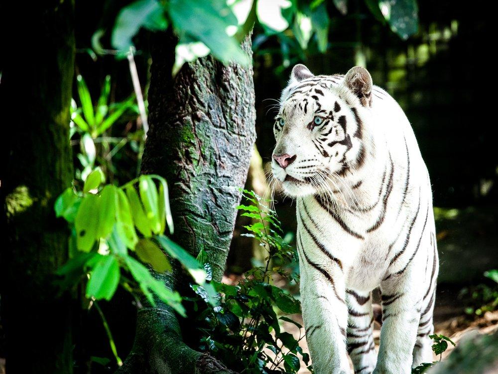 tiger-1545023_1920.jpg