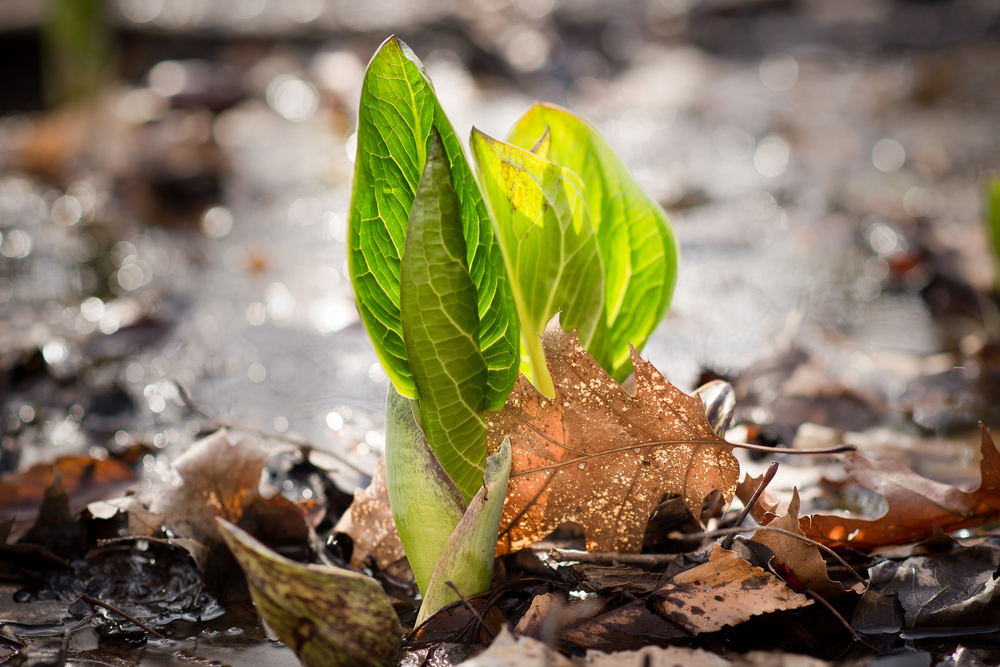 Skunk Cabbage With Leaf.jpg