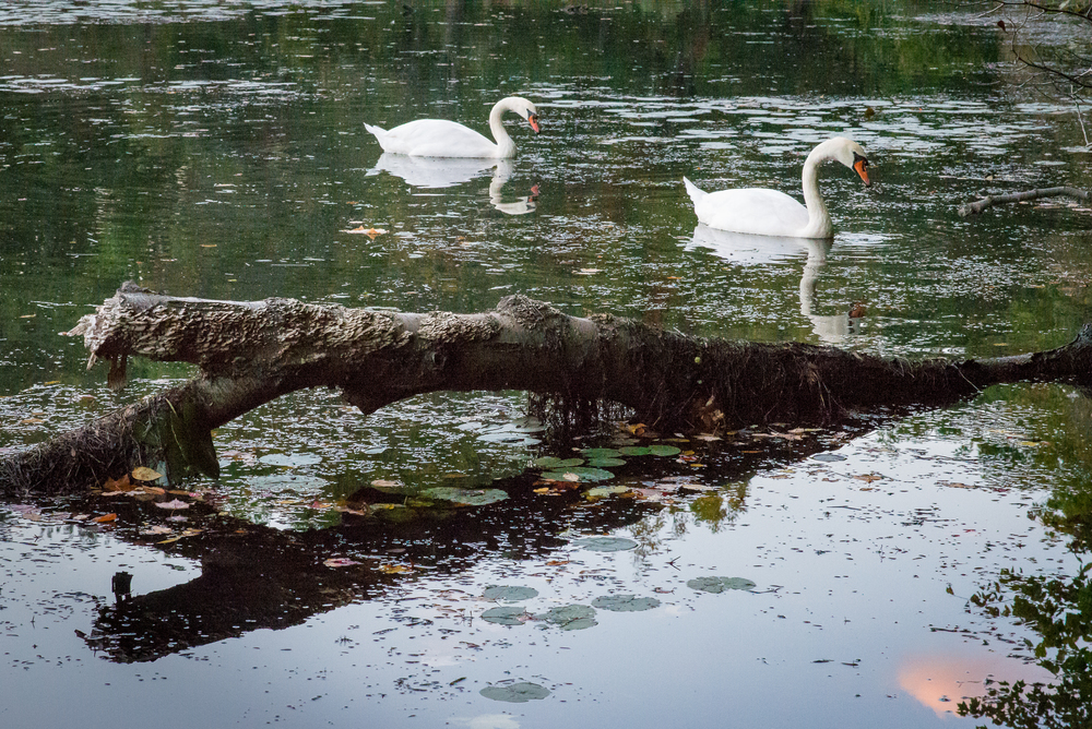 Late Summer Swans Horizontal.jpg