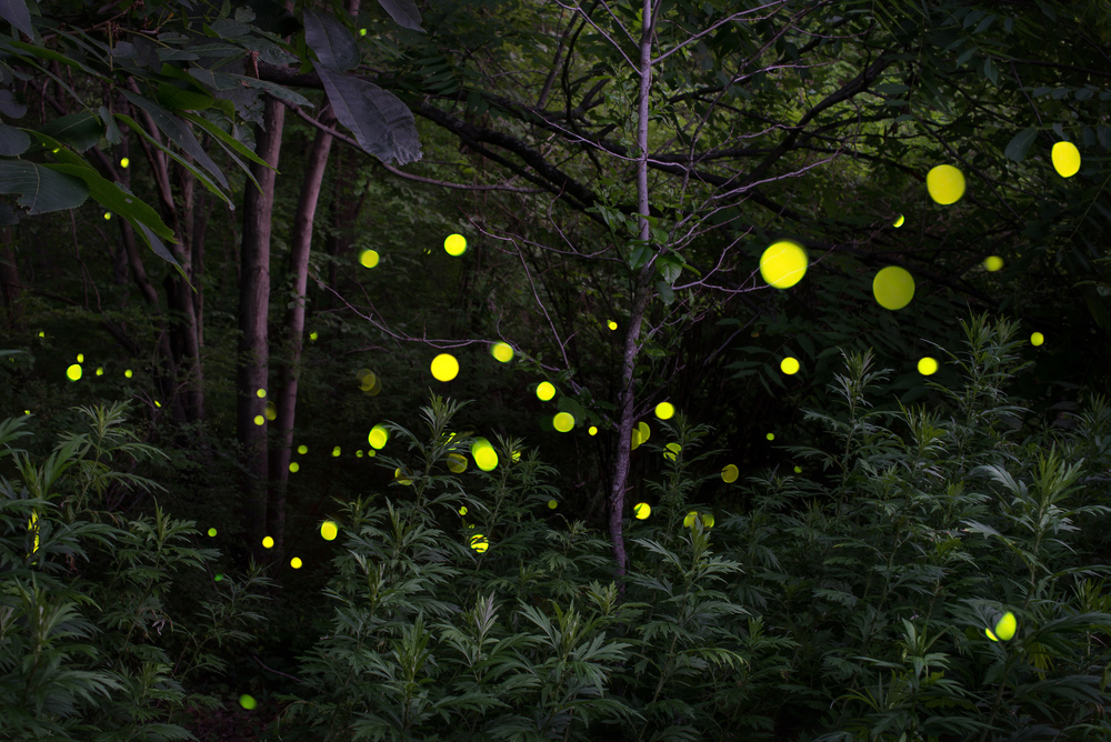 Fireflies Woods Web.jpg