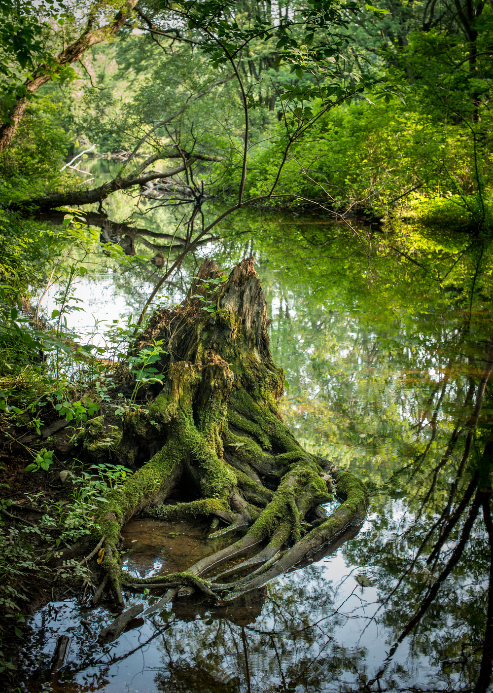 Mossy River Stump.jpg
