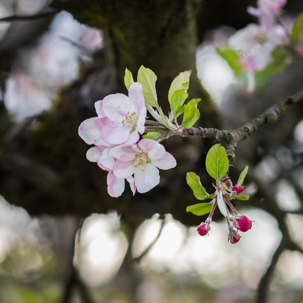 Apple Blossom -1.jpg