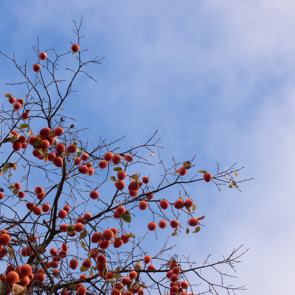 Persimmon Sky.jpg