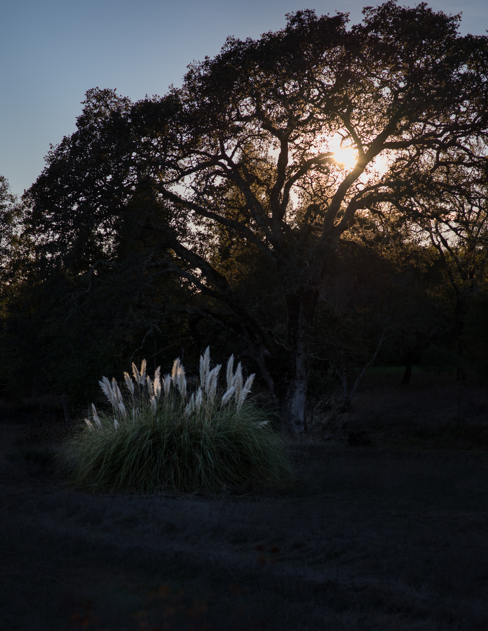 Pampas Oak Sunset.jpg